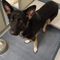 Adopt A Pet :: Bear *Trainee* - Glen Allen, VA