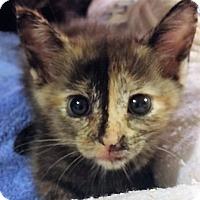 Adopt A Pet :: Shalom - New Smyrna Beach, FL