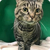 Adopt A Pet :: Vinnie - Cuyahoga Falls, OH