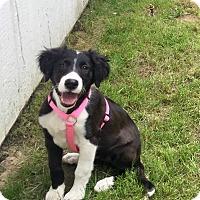 Adopt A Pet :: Chloe - Brea, CA