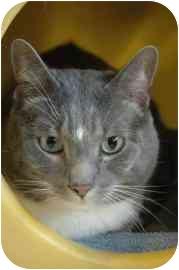 Domestic Shorthair Cat for adoption in Walker, Michigan - Smokey