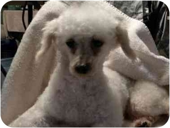 Poodle (Toy or Tea Cup) Dog for adoption in PRINCETON, New Jersey - Chanel
