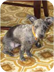 Poodle (Miniature)/Yorkie, Yorkshire Terrier Mix Dog for adoption in Warren, Michigan - Coco