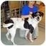 Photo 1 - English Springer Spaniel/Labrador Retriever Mix Dog for adoption in Osseo, Minnesota - Missy