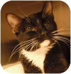 Domestic Shorthair Cat for adoption in Wheaton, Illinois - Sukie