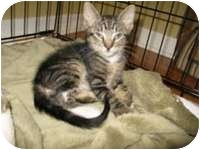 Domestic Shorthair Kitten for adoption in Tampa, Florida - Vinny