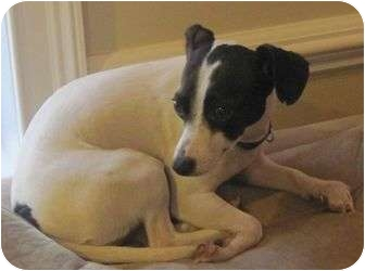 Jack Russell Terrier/Chihuahua Mix Dog for adoption in Londonderry, New Hampshire - Sherry