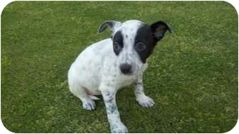 Australian Cattle Dog/Border Collie Mix Puppy for adoption in Bakersfield, California - Kimmy