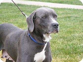 Weimaraner/Pointer Mix Dog for adoption in Toledo, Ohio - AMIE