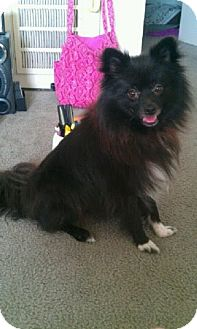 Pomeranian Dog for adoption in Copperas Cove, Texas - Baloo aka Midnight
