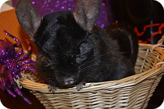 Chinchilla for adoption in Lindenhurst, New York - Virgil