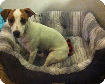 Jack Russell Terrier Dog for adoption in Harrah, Oklahoma - Bellie