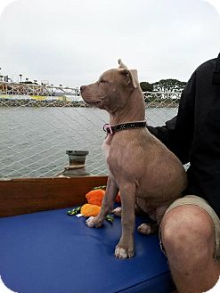 American Pit Bull Terrier Puppy for adoption in San Diego, California - Pearl