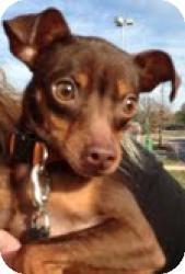 Miniature Pinscher Dog for adoption in Walker, Louisiana - Spike