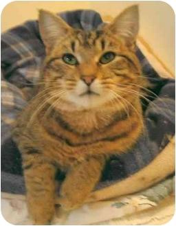 Domestic Shorthair Cat for adoption in Plainville, Massachusetts - Buster Brown
