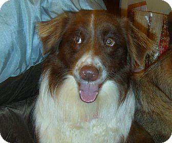Australian Shepherd Dog for adoption in Washington, Illinois - Bucko