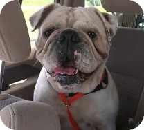 English Bulldog Dog for adoption in St. Petersburg, Florida - Dozer