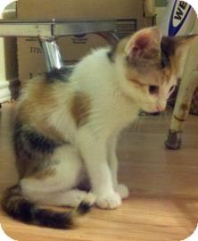 Domestic Shorthair Kitten for adoption in Bulverde, Texas - Luna