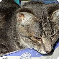 Domestic Shorthair Cat for adoption in Palm City, Florida - Raj