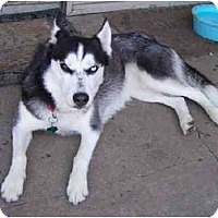 Adopt A Pet :: Nikita - Belleville, MI