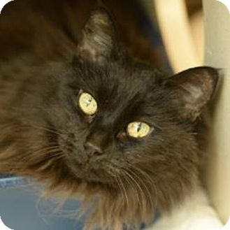 Domestic Mediumhair Cat for adoption in Denver, Colorado - Fionia the Great
