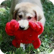Anatolian Shepherd Mix Puppy for adoption in Austin, Texas - Ginger Rogers