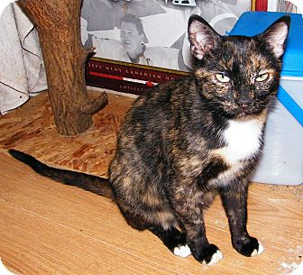 Calico Cat for adoption in Leamington, Ontario - Annie