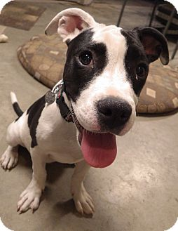American Pit Bull Terrier Mix Puppy for adoption in Quail Valley, California - Lola