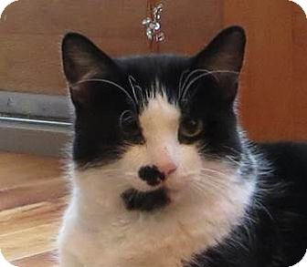 Domestic Shorthair Cat for adoption in Amherst, Massachusetts - Taco