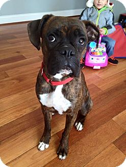 Boxer Mix Dog for adoption in Winchester, Virginia - Buck