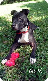 American Staffordshire Terrier/American Bulldog Mix Puppy for adoption in Eden, North Carolina - Noel