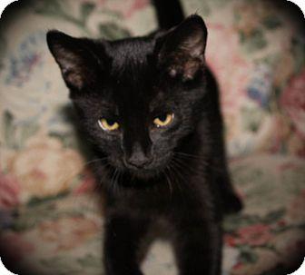 Domestic Shorthair Cat for adoption in Hamilton., Ontario - Duke