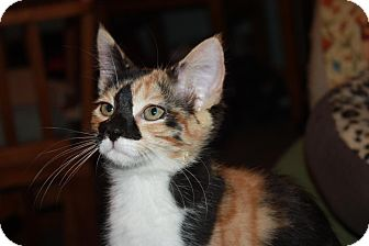 Domestic Shorthair Kitten for adoption in Little Falls, New Jersey - Francie (LE)