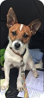 Jack Russell Terrier Mix Dog for adoption in Cat Spring, Texas - Jack