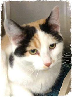 Calico Cat for adoption in Pueblo West, Colorado - Clara