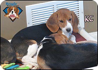 Beagle Puppy for adoption in Yardley, Pennsylvania - KC