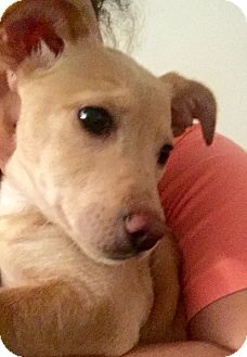 Terrier (Unknown Type, Small)/Dachshund Mix Puppy for adoption in New York, New York - Molly