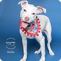 Adopt A Pet :: Hobby - Portland, OR
