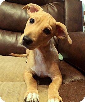 Boston Terrier/Bulldog Mix Puppy for adoption in Savannah, Georgia - Carla