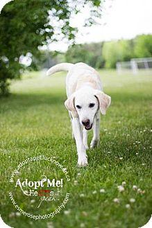 Labrador Retriever/Hound (Unknown Type) Mix Dog for adoption in Lucknow, Ontario - Hayden- a sweet boy!