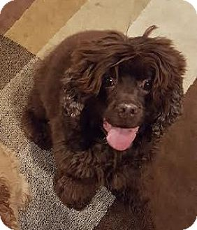 Cocker Spaniel Dog for adoption in Detroit, Michigan - Koko-Pending!