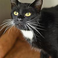 Domestic Shorthair Cat for adoption in Atlanta, Georgia - Dominique161460