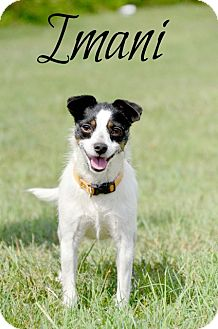 Terrier (Unknown Type, Small) Mix Dog for adoption in Chester, Connecticut - Imani