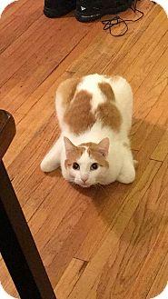 Domestic Shorthair Kitten for adoption in Rochester, Minnesota - Brody