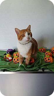Domestic Shorthair Cat for adoption in China, Michigan - Eddie