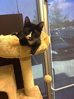 Domestic Shorthair Cat for adoption in Alpharetta, Georgia - Mogli (CL)