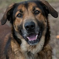 Shepherd (Unknown Type) Mix Dog for adoption in Loxahatchee, Florida - Naomi