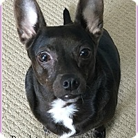 Adopt A Pet :: Penelope - Elburn, IL