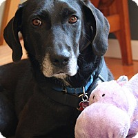Adopt A Pet :: Reed - Bedford Hills, NY
