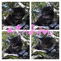 Adopt A Pet :: Grindylow - Garden City, MI